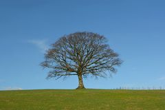 The Winter Oak Royalty Free Stock Images