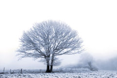 Winter oak Stock Photo