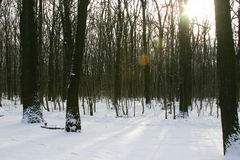 Winter oak forest Royalty Free Stock Photography