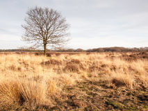 Winter oak on grassland Stock Photography