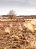 Winter oak on heathland Stock Images