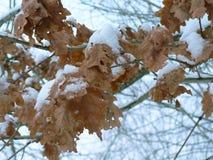 Winter Oak Leaves stock images