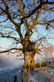 Winter Oak Tree Stock Images