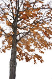 Winter oak tree Royalty Free Stock Photo