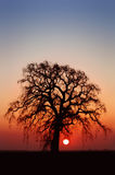 Winter Oak Tree. And Setting Sun Royalty Free Stock Photo