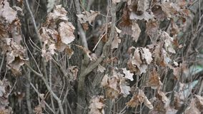 Winter Oak Tree stock footage