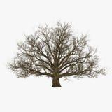 Winter Oak Tree Isolated on White 3D Illustration Stock Photos