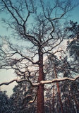 Winter oak tree in snow at evening Royalty Free Stock Photo