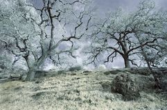 Winter Oak Trees in Infrared Stock Images