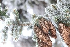 Winter- oder Weihnachtshintergrund, Tannenzweig mit Kiefern-Kegel bedeckte Reif Lizenzfreie Stockfotografie