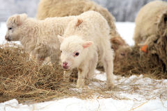 Free Winter On The Farm. Stock Images - 31428084