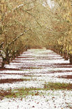 Winter Orchard Stock Image