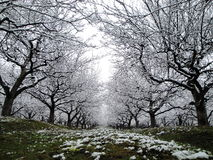 Winter in the orchard. Early winter in an apple orchard Royalty Free Stock Photo