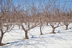 Winter Orchard Royalty Free Stock Image
