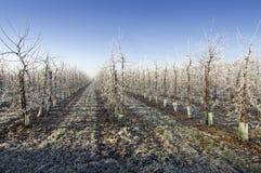 Winter Orchard Stock Photo