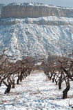 Winter Orchard near Palisade royalty free stock image