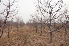 Winter orchard Stock Images