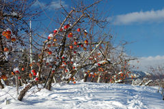 Winter Orchards Stock Photography