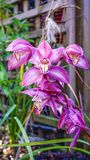 Winter Orchid in pink tones. Stock Photo