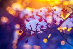 Winter outdoors closeup. Red berries left and sunset orange light stock images