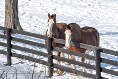 Winter Paddock. Two colorful horses in the snow near West Charlton, New York Stock Photo