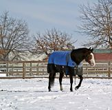 Winter Paddock. Stallion walking in his snowy paddock Stock Images