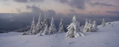 Winter panorama. A beautiful evening panorama from the top of the mountain, snowy spruces and pines and pink evening sky of the Carpathians Stock Photos