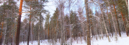 Winter panorama. Panorama of the winter forest Royalty Free Stock Images