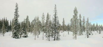 Winter panorama of snow covered fir trees. Stock Photography