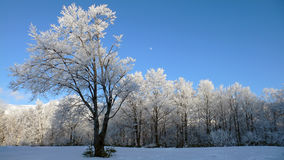 Winter panoramic landscape. With single frosted tree and bright blue sky Royalty Free Stock Photo