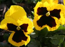 Winter Pansies. Brilliant yellow and purple pansies, a Royalty Free Stock Photography