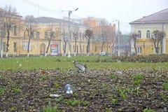 Winter Park, περιστέρια στη χλόη Στοκ εικόνες με δικαίωμα ελεύθερης χρήσης