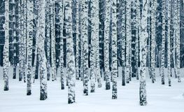 The winter park with birches royalty free stock photos