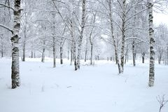 Winter park with birches covered with clean white snow with birch trees with snowy branches in cloudy day. Beautiful winter forest with birches covered with Royalty Free Stock Photo