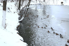 Winter Park duck pond. Ducks and drakes swim in cold water in winter in a park Royalty Free Stock Photos
