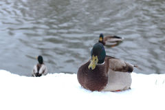 Winter Park duck pond. Ducks and drakes swim in cold water in winter in a park Royalty Free Stock Images