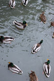 Winter Park duck pond. Ducks and drakes swim in cold water in winter in a park Royalty Free Stock Photo