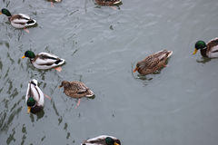 Winter Park duck pond. Ducks and drakes swim in cold water in winter in a park Royalty Free Stock Image