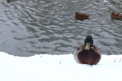 Winter Park duck pond. Ducks and drakes swim in cold water in winter in a park Stock Image