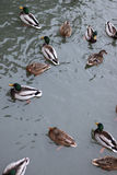 Winter Park duck pond. Ducks and drakes swim in cold water in winter in a park Royalty Free Stock Photography
