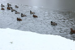 Winter Park duck pond. Ducks and drakes swim in cold water in winter in a park Stock Images