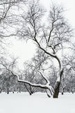 Winter park. Lonely snow-covered tree stock images