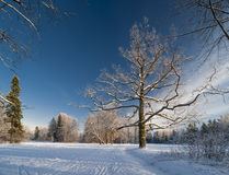 Winter park with an old oak-tree Royalty Free Stock Photo