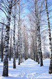 Winter park, scenery with trees Birch with covered snow branches Stock Images