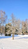 Winter park in snow. Trees in park covered with snow Royalty Free Stock Photos
