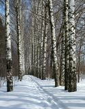Winter path in birch alley. Birch alley in sunny day in the end of the winter stock photography