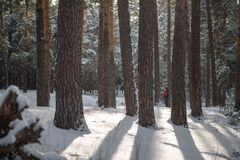 Sun rays through the trees in winter stock images