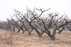 Winter peach orchard Stock Images