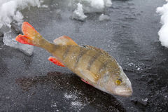 Winter perch fishing leisure Royalty Free Stock Photo