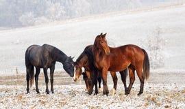 Winter-Pferden-Serie Stockbild